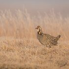 Prairie Chicken 5-2015 by Thomas Young
