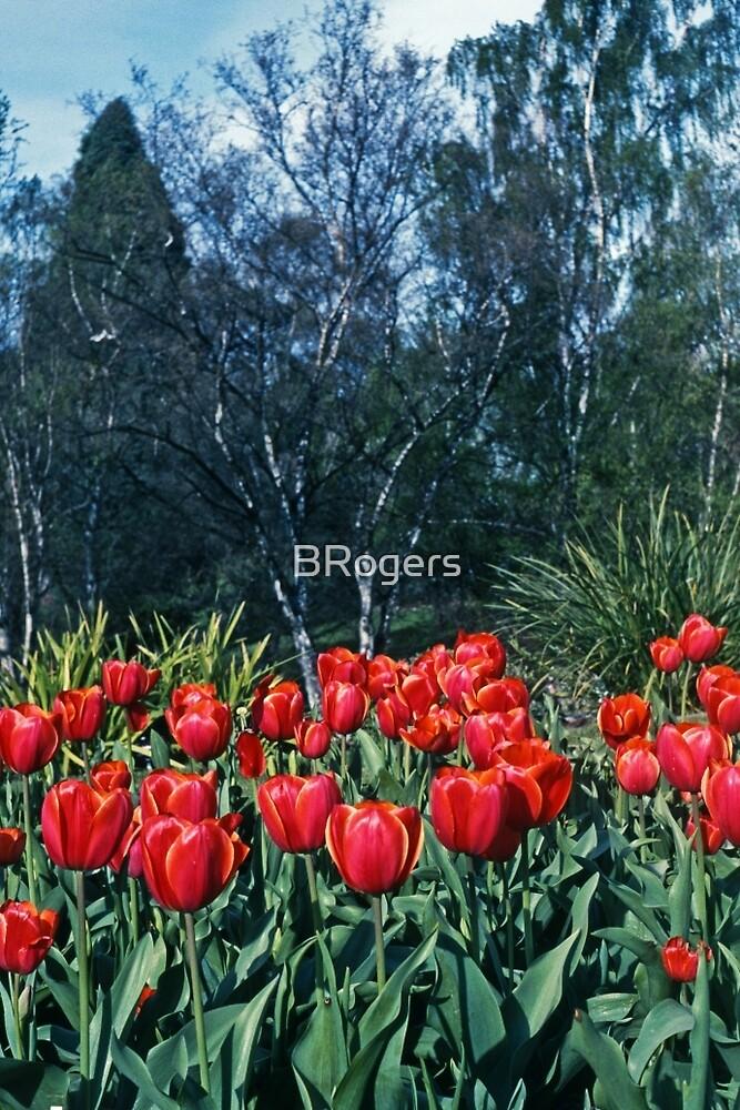Kodachrome Tulips by BRogers