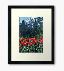 Kodachrome Tulips Framed Print