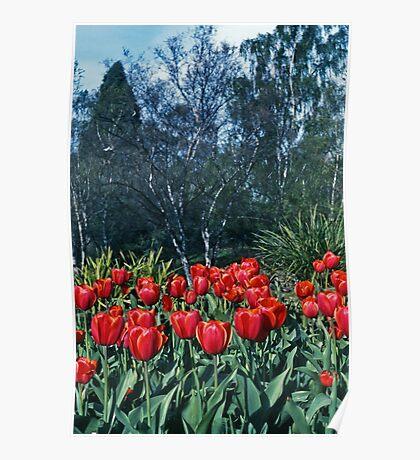 Kodachrome Tulips Poster