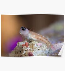 Goby Poster