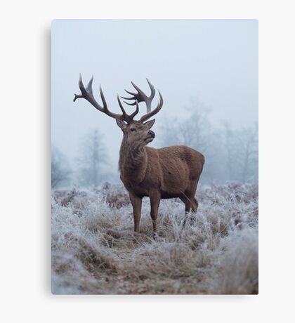 Monarch in a field of white Canvas Print