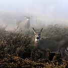 The rut is on! - White-tailed deer  by Jim Cumming