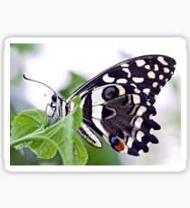 Papilio demoleus Sticker
