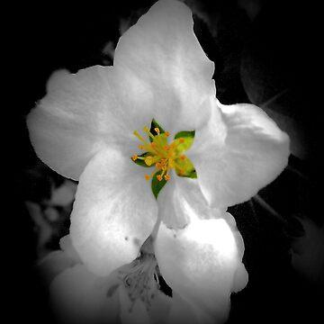 Speck of color, Apple tree blossom by NicoleK-design