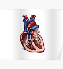 Cross section of human heart. Poster