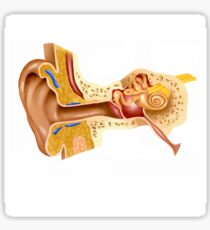 Cross section of human ear. Sticker