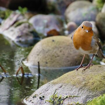 Robin by Lancashire Pond by TheDabber