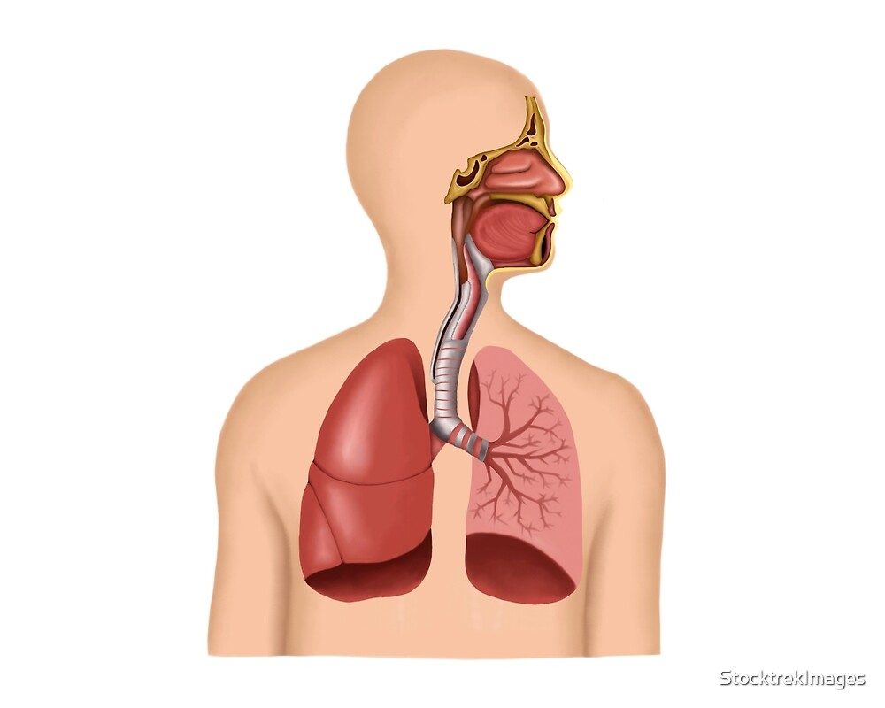 Anatomy Of Human Respiratory System By Stocktrekimages Redbubble