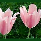 Pink tulips by Vanella Mead