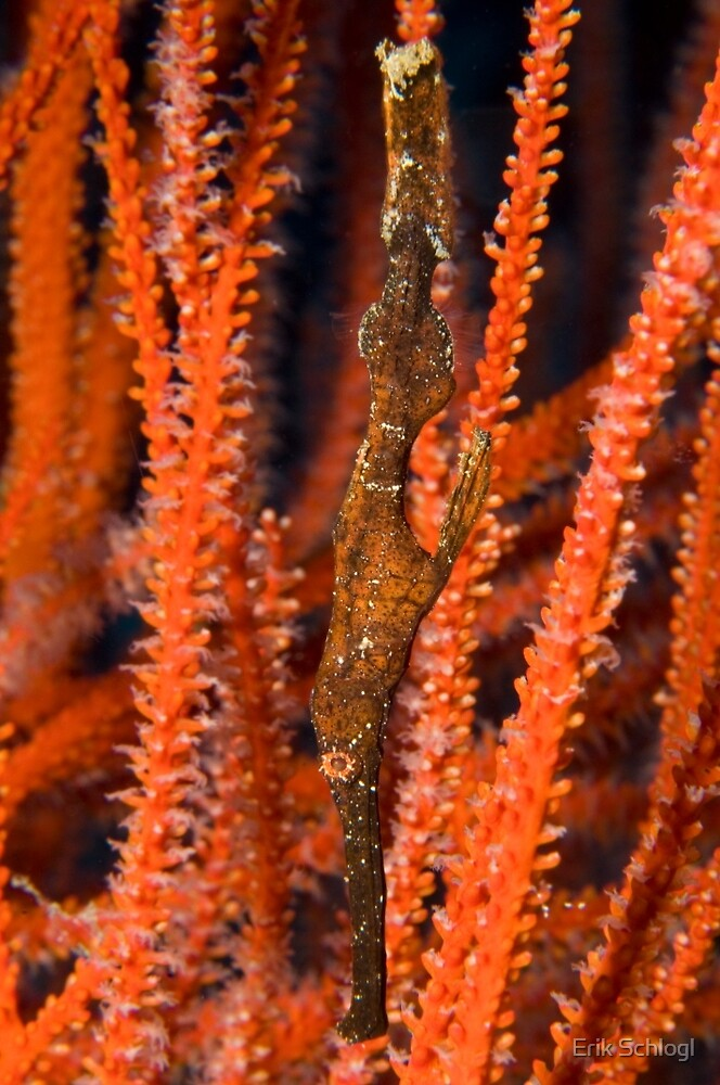 Ghost Pipefish, Kimbe Bay, Papua New Guinea by Erik Schlogl