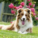 Border Collie & Pink Roses by AndreaEL