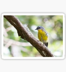 Eastern Yellow Robin (Eopsaltria australis) Sticker