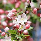 Blooming spring apple tree background by Maryna Gumenyuk
