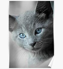 Blue Eyed Kitten Poster