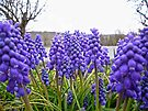 An ocean of Grape Hyacinth by FrankieCat