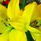 *Yellow Pair closeup - Enchanted Flowers