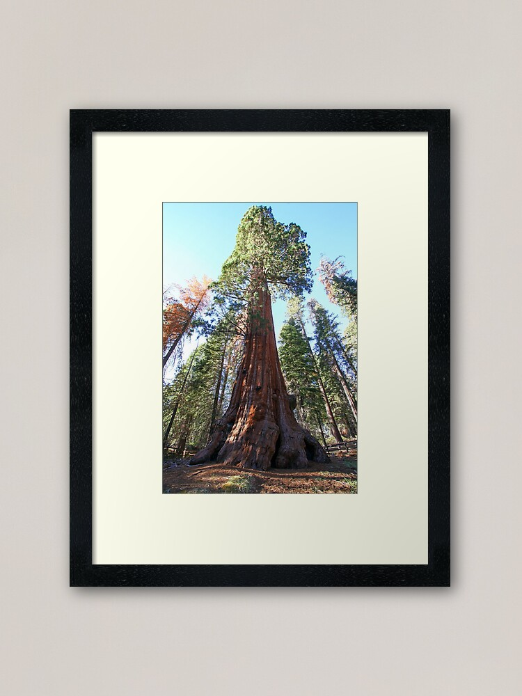 Alternate view of Giant Sequoia (Redwood) trees at Sequoia and Kings National Park, California, USA Framed Art Print