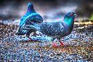 Pigeons by Nigel Bangert