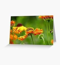 Day's Eye! - Black Eyed Susan - Cone Flower NZ Greeting Card