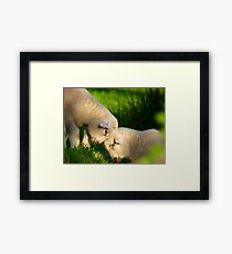 We Know We're Cute & Cuddly...!- Lambs - NZ Framed Print