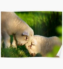 We Know We're Cute & Cuddly...!- Lambs - NZ Poster