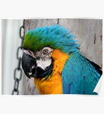 Don't You Just Love Hair Gel..It Adds Height!! - Macaw - NZ Poster