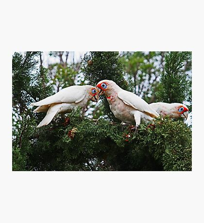 Long Billed Corellas Photographic Print