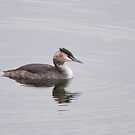 The serenity of the great crested grebe  by miradorpictures