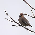 Waxwing foraging time by miradorpictures