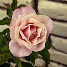 Rose and brick by Thaddeus Zajdowicz