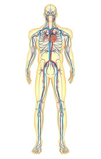 Pósters «Anatomía del cuerpo humano y el sistema circulatorio, vista ...