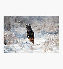 Snowy Rotty  Photographic Print