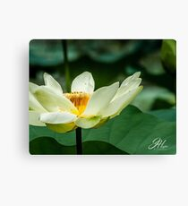 Water Lillie Canvas Print