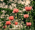 Pink Poppy in late everning light by LudaNayvelt