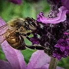 Bee on Lavender Leith Park Victoria 20161026 7662 by Fred Mitchell