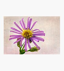 Wild Aster Blossom - Macro  Photographic Print