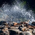 Sea Lions sunning in the surf by barnsis