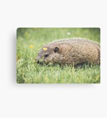 Baby Groundhog in the grass and buttercup field Canvas Print