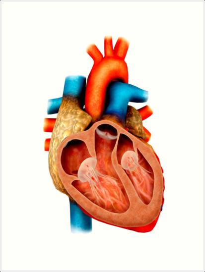 Láminas artísticas «Anatomía del corazón humano, sección transversal ...