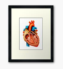 Anatomy of human heart, cross section. Framed Print