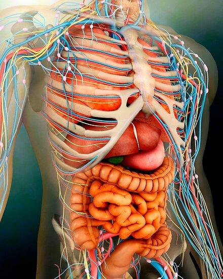 Perspektivenansicht des menschlichen Körpers, der ganzen Organe und ...