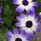 Purple & White by Douglas E.  Welch