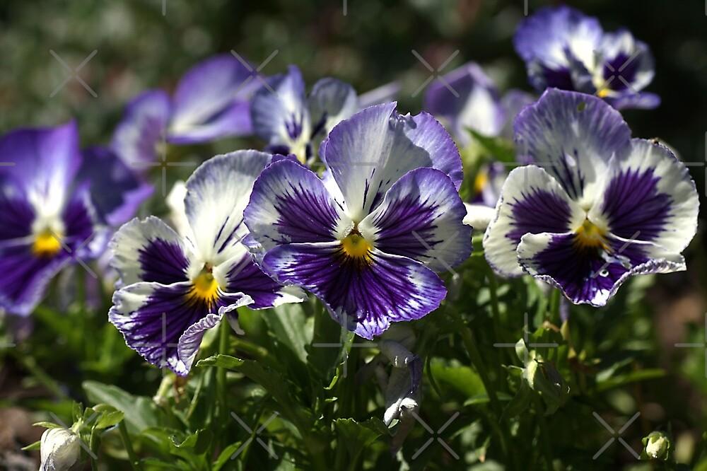 Purple  Pansies by Joy Watson