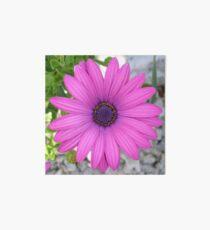 Violet Pink Osteospermum Flower Daisy Art Board