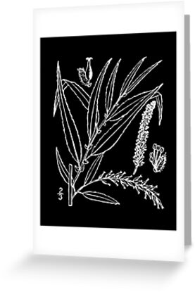 Britton And Brown Illustrated flora of the northern states and Canada 1312 Salix nigra01 by wetdryvac