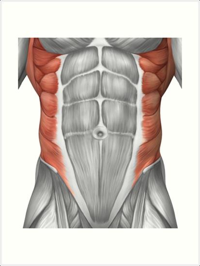 Láminas artísticas «Anatomía muscular masculina de la pared ...