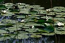 Waterlilies  by steppeland