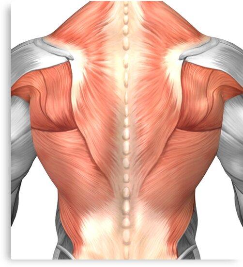 Lienzos «Anatomía del músculo masculino de la espalda humana.» de ...