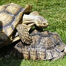 African spurred tortoise (Centrochelys sulcata) by Andrew Harker